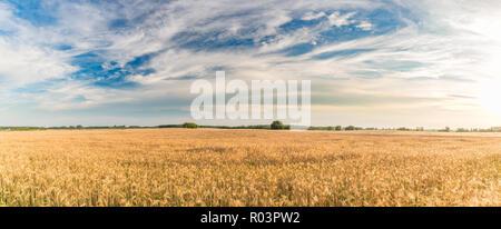 Campo de trigo. Espigas de trigo de oro de cerca. La naturaleza hermosa puesta de sol paisaje. Paisaje rural bajo la luz del sol brillante. Antecedentes de la maduración orejas