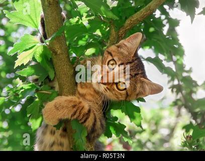 Una curiosa atigrado gatito, European Shorthair, está jugando en un jardín y escalada en un árbol