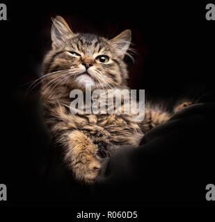 Hermosa fluffy gracioso gato sobre el fondo negro