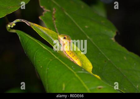 Una especie Spicebush caterpillar (Papilio Troilo) en el norte (spicebush benzoína Lindera), Maryland (Estados Unidos) Foto de stock