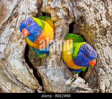 Rainbow lorikeet dos loros ( Trichoglossus moluccanus ) en su nido hollow