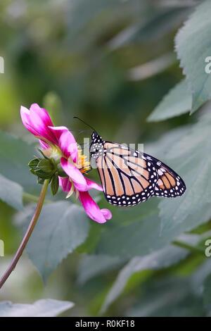 Mariposa monarca polinizando una flor rosa en un jardín de Margaritas y flores silvestres