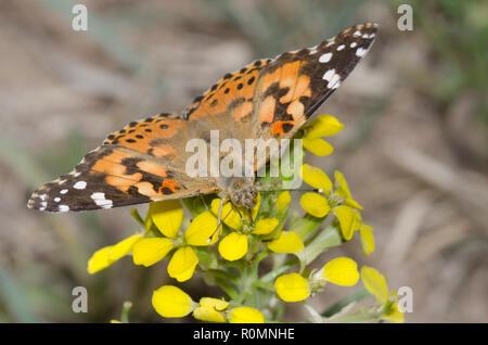 Painted Lady, Vanessa cardui, nectaring de alhelí, Erysimum sp. Foto de stock