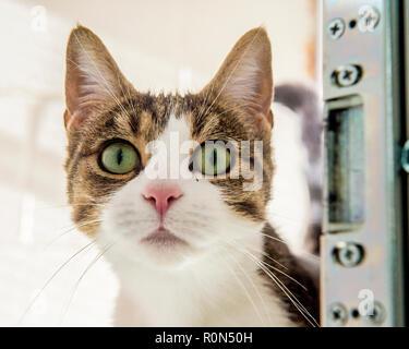 Atigrado y gato blanco