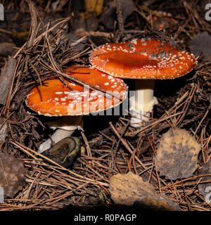 Setas venenosas amanita en un bosque de pinos. La temporada de otoño.