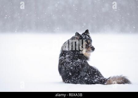 Lapphund finlandés en el nevado paisaje invernal.