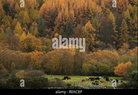 Pastan en un campo en las afueras de Tollymore park en Bryansford, Co. hacia abajo.