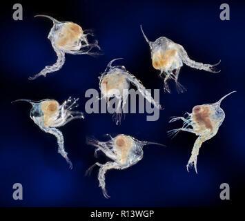 Cangrejo guante chino, Eriocheir sinensis, zoea etapa larval temprano, darkfield microfotografía