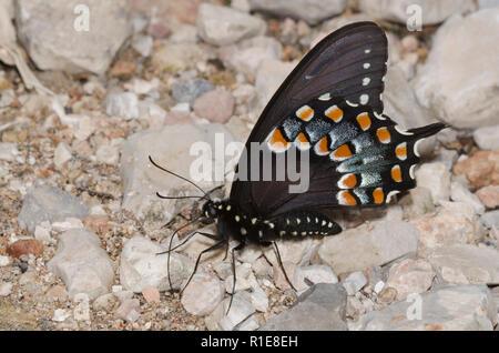 Especie Spicebush, Papilio Troilo, masculino en los charcos de barro Foto de stock
