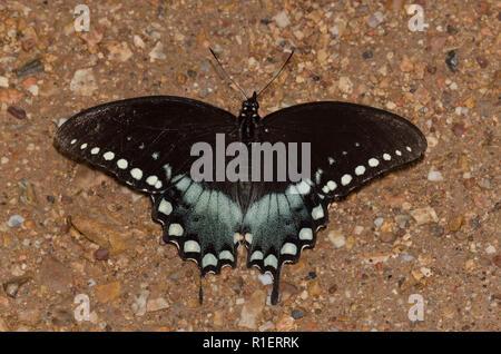 Spicebush Swallowtails, Papilio Troilo, masculino en los charcos de barro Foto de stock
