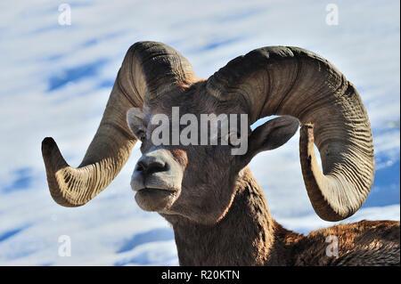 """Un retrato de un hombre de las montañas rocosas """"borrego cimarrón Ovis canadensis', en la zona rural de Alberta, Canadá"""