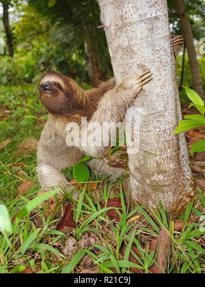 Tres vetado perezoso en la tierra comienza a trepar a un árbol, Panamá, América Central