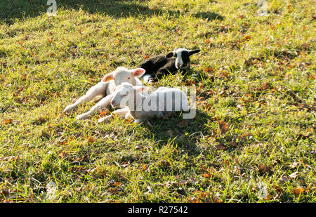 Los corderos jóvenes blancas caricias y sentar uno al lado del otro en un campo de hierba en el cálido sol