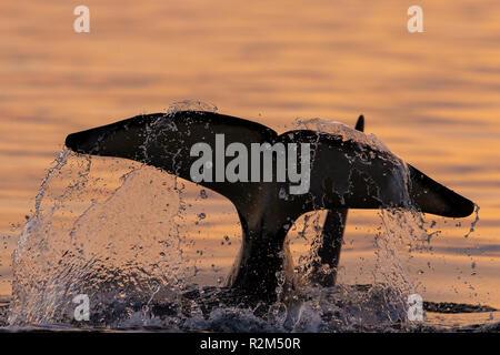 Residente del norte orca (Orcinus orca) cola salpicaduras cerca en el estrecho Queen Charlotte, Broughton Archipiélago, Territorio de las Primeras Naciones, los británicos C