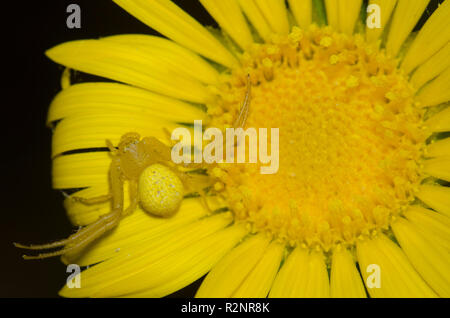 El cangrejo araña, Familia Thomisidae, sobre Oro Español, Grindelia ciliata