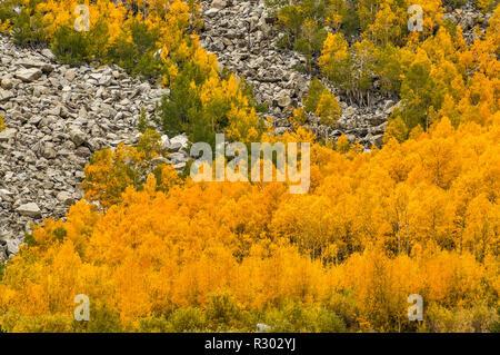 Árboles de Aspen en el follaje de otoño en camino al sur del lago cerca de Bishop, la parte oriental de Sierra Nevada, California, EE.UU.