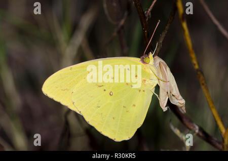 Phoebis sennae despejado, azufre, macho
