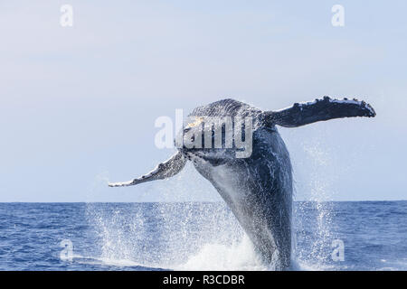 Las ballenas jorobadas (Megaptera novaeangliae), cerca de Kona, Big Island, Hawai
