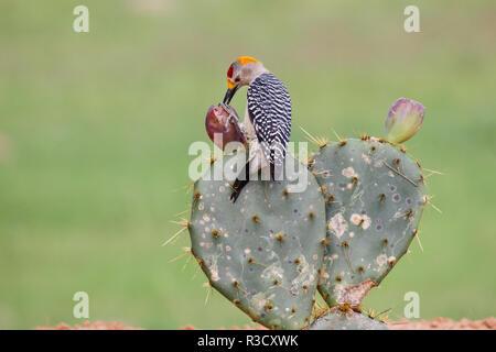 De fachada dorada Woodpecker (Melanerpes aurifrons) alimentando el nopal fruta.