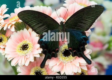 Chino Peacock, especie Papilio bianor sobre Gerber Margaritas