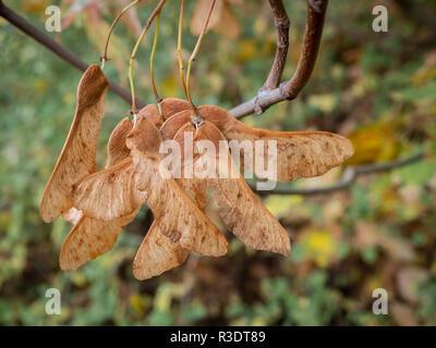 Tuerca alada fruto de la montaña arce - Acer pseudoplatanus - árbol de arce