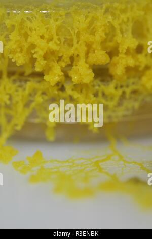 Limo amarillo Molde (Physarum polycephalum) creciente y de la red de Petri con agar. Proyecto de laboratorio de biología, Escocia, Reino Unido.