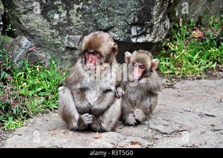 Dos bebés monos de nieve, Jigokudani, Nagano, Japón
