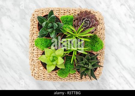 Arreglos florales con plantas suculentas y musgo verde, sobre fondo de mármol.