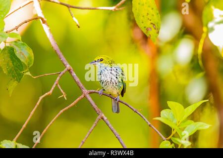 En Centroamérica, Costa Rica. Tanager moteado en el árbol. El crédito como: Fred Señor Jaynes / Galería / DanitaDelimont.com