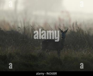 Un joven ciervo corzo (Capreolus capreolus) está alerta en un campo de Gloucestershire al amanecer.
