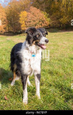 Retrato, cerca vista frontal de alert Border Collie, que se encuentran aisladas en el pasto, boca abierta, disfrutando del sol en un país parque con árboles de otoño.