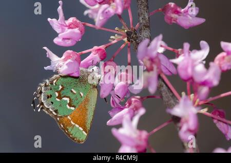 Juniper Hairstreak, Callophrys gryneus, sobre Redbud oriental, Cercis canadensis