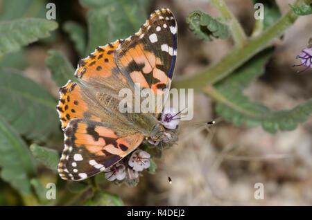 Painted Lady, Vanessa cardui, desde scorpionweed nectaring, Phacelia sp. Foto de stock