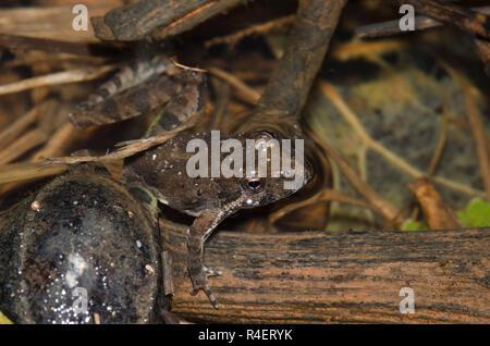 La rana de cricket de Blanchard, Acis blanchadi