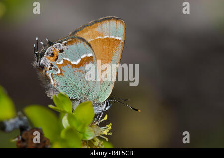 Juniper Hairstreak, Callophrys gryneus, nectaring de New Mexico Olive, Forestiera pubescens Foto de stock