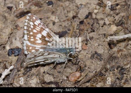 Común, Pyrgus Checkered-Skipper communis, hembra en los charcos de barro