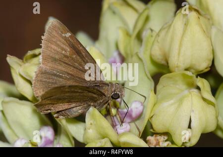 Confundido, Thorybes Cloudywing confusis, macho en verde, Asclepias asclepias viridis Foto de stock