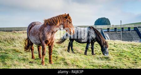 Dos coloridos Bodmin Moor ponis en depósito Crowdy, Cornualles, al comienzo del invierno, tanto navegando cerca de la presa en una dieta saludable de hierba.