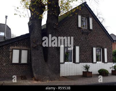 29 de noviembre de 2018, Renania del Norte - Westfalia, Düsseldorf: Un doble-trunk oak está muy cerca de la fachada de una pequeña casa de ladrillo. Foto: Horst Ossinger/dpa