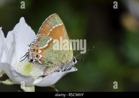 Juniper, Callophrys Hairstreak gryneus, sobre Apache Plume Fallugia paradoxa
