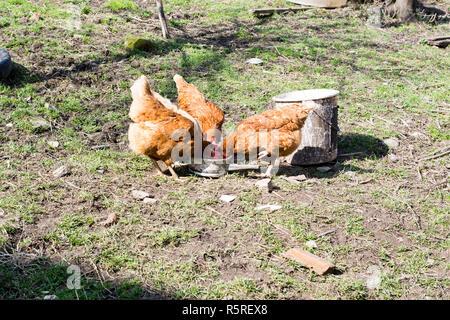 Las gallinas se alimentan en la tradicional rural de corral en día soleado.