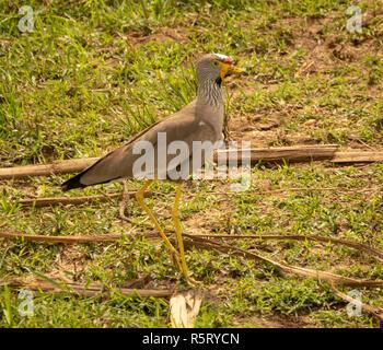 Wattled lapwing africana (Vanellus senegallus), también conocido como Senegal o chorlito wattled wattled lapwing, Canal Kazinga. Nacional Queen Elizabeth