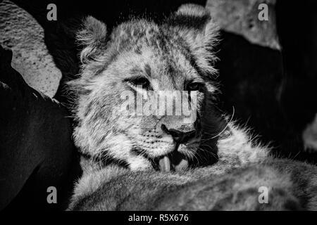 Un hermoso cachorro de león tras un lavado en blanco y negro