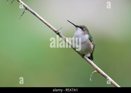Ruby-throated Hummingbird (Archilochus colubris) hembra, encaramado, E EE.UU., por Dominique Braud/Dembinsky Foto Assoc Foto de stock