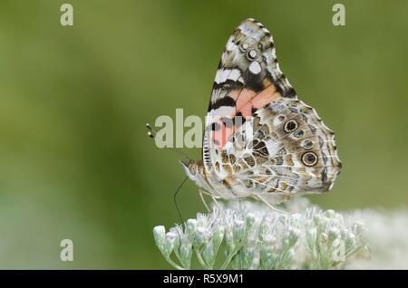 Painted Lady, Vanessa cardui, sobre Lateflowering nectaring thoroughwort, Conoclinium serotinum Foto de stock