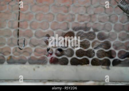 Temerosos ratones atrapados en una jaula de ratas