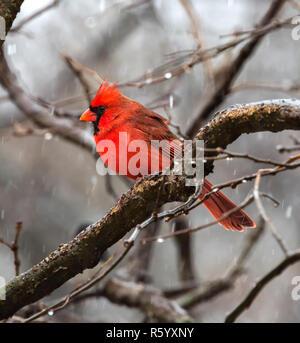Los copos de nieve cayendo sobre el cardenal norteño macho posado sobre la rama de un árbol durante el Blizzard en Jester Park, Iowa, EE.UU.