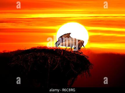 Stork al atardecer en África