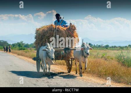 El hombre rural birmana conduce carro de madera con heno en carretera polvorienta dibujado por dos búfalos blanco paisaje rural y tradicional aldea la vida en Birmania Countr