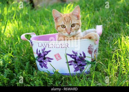 Jengibre joven cat, 3 mes de edad, sentados en una olla de la flor
